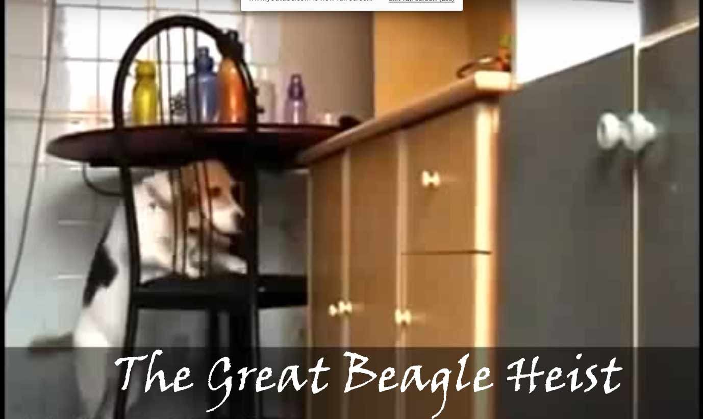 beagle bandit strikes