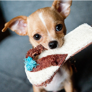 chihuaha puppy slipper cute adorable