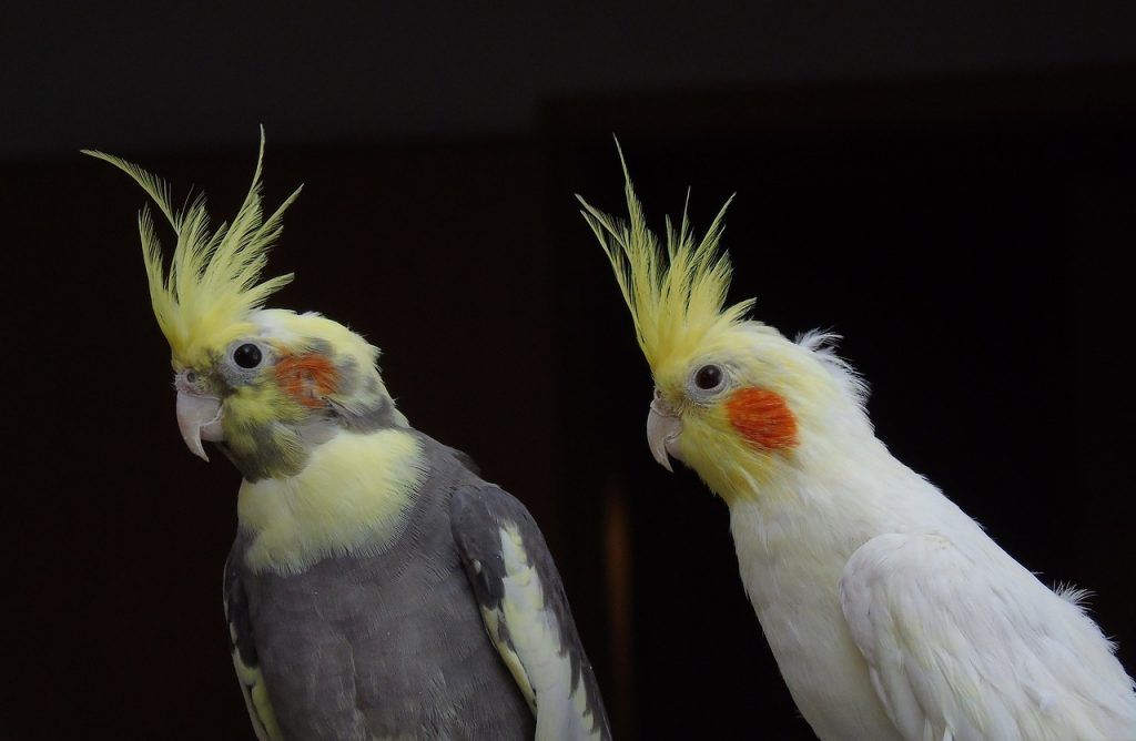 5 cockatiel ownership tips to read today