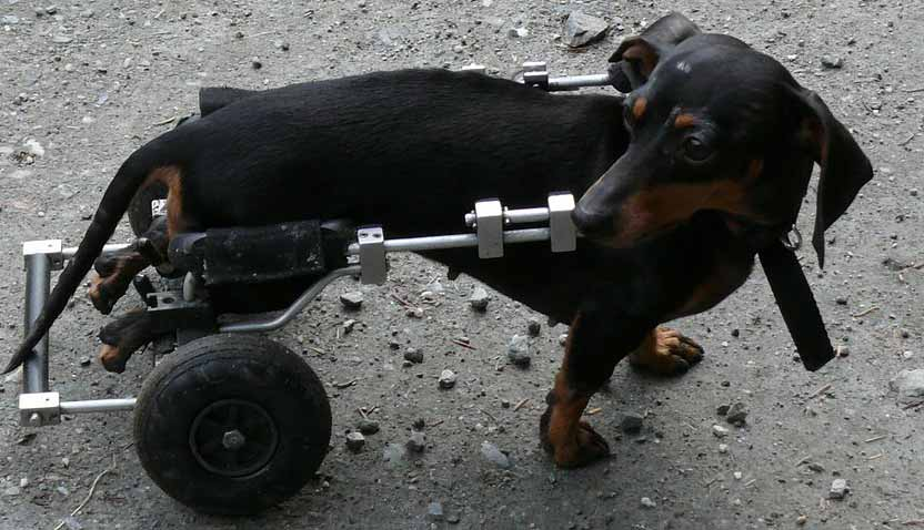 sick dog with wheels