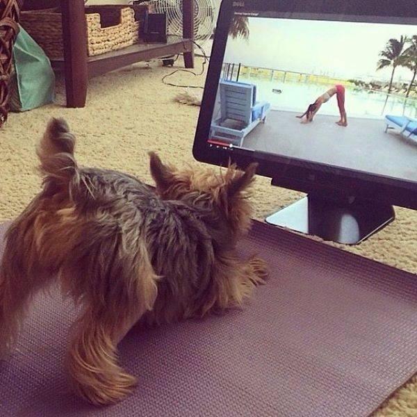 yorkie puppy doing yoga