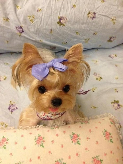Yorkie with purple bow in hair