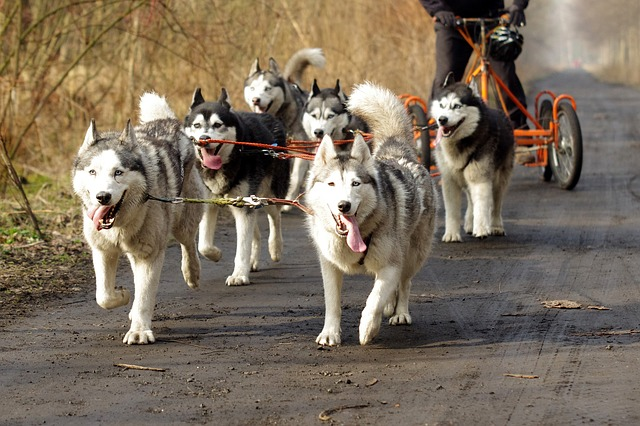 huskies love to exercise