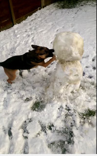 German Shephard vs Snowman