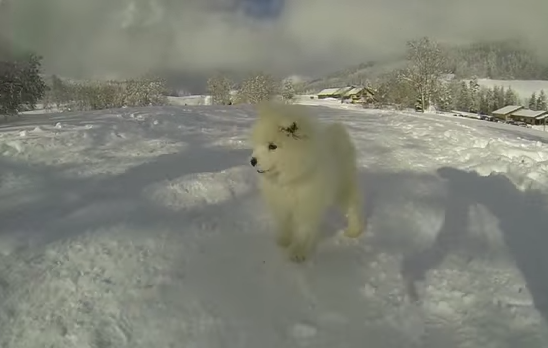 Samoyed Puppy Sees Snow For First Time