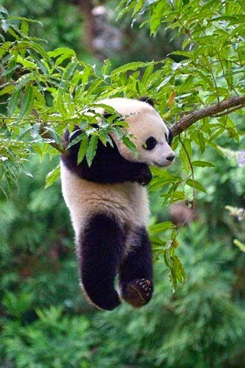 panda hanging in there