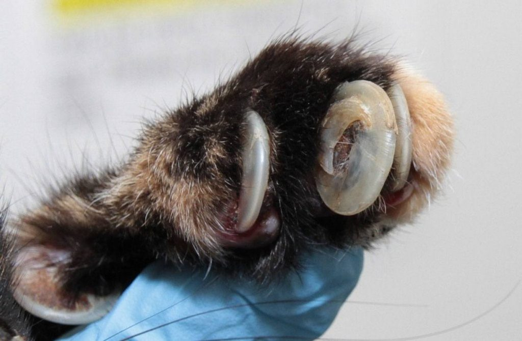 ingrown cat claw - common reason for a cat visit to the vet